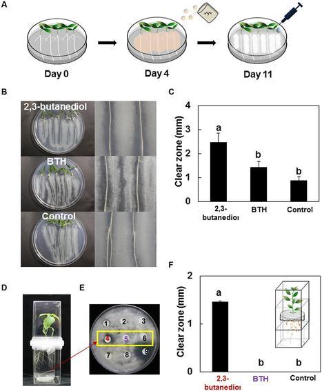 Impact of a Bacterial Volatile 2,3-Butanediol on Bacillus subtilis Rhizosphere Robustness | Plant-Microbe Symbiosis | Scoop.it
