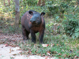 Sumatran rhino conservation | conservation & antipoaching | Scoop.it
