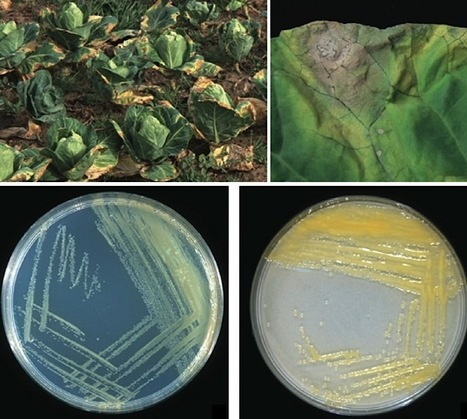 MPP: Xanthomonas campestris pv. campestris (cause of black rot of crucifers) in the genomic era is still a worldwide threat to brassica crops (2012) | Xcc | Scoop.it