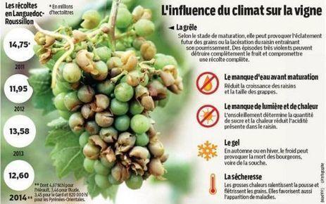 Petites vendanges attendues en Languedoc-Roussillon | Le Vin et + encore | Scoop.it