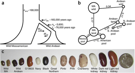 A reference genome for common bean and genome-wide analysis of dual domestications : Nature Genetics : Nature Publishing Group | Archaeobotany and Domestication | Scoop.it