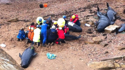 Almost thirty pilot whales stranded on shore near Fife fishing town - stv.tv | whale news | Scoop.it