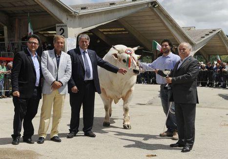Raci, il toro Vichingo  è il re dei bovini di razza marchigiana   Vini & tipicità della regione Marche   Scoop.it