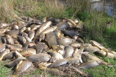 Herpes virus to be used in fight against carp in Murray River, Christopher Pyne says - ABC News (Australian Broadcasting Corporation) | VCE Environmental Science | Scoop.it