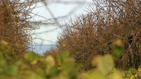 Le vignoble du Languedoc-Roussillon est-il menacé d'extinction ? | EntomoNews | Scoop.it