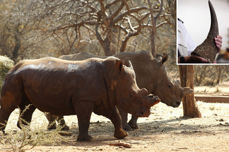 British noble pens defense for rhino-horn smuggler | What's Happening to Africa's Rhino? | Scoop.it
