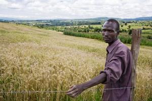 Africa Wheat Study Indicates Potential to Cut Import Dependency | Food Security | Scoop.it