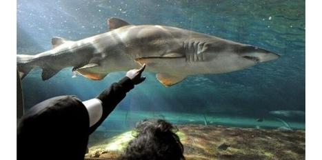 Australie: la surpêche de requin menace les coraux | SVT : l'homme responsable de son environnement | Scoop.it