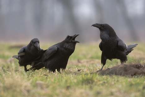 Ravens have social abilities previously only seen in humans | Amazing Science | Scoop.it