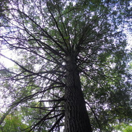 Hemlock Extinction Looms over Tennessee Forests | Extinction Countdown | Tree News | Scoop.it