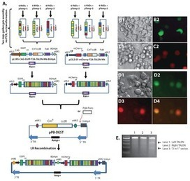 Rapid Assembly of Customized TALENs into Multiple Delivery Systems - PLOS One | TALE effector Design and Delivery | Scoop.it