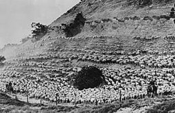 Sheep Fueled 1920s Economy | Gatsby!! | Scoop.it