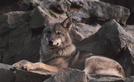 Chasing a phantom wolf | Saving the Wild: Nature Conservation in the Caucasus | Scoop.it