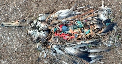 1200 miles from civilization, albatross' are eating man-made plastic | The World and its Surroundings | Scoop.it