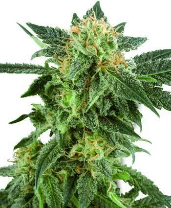 Plant these 10 Best Trees | Cannabis Seeds | Scoop.it