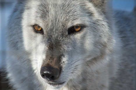 Fear and caring are what's at the core of divisive wolf debate | Nature enviroment and life. | Scoop.it