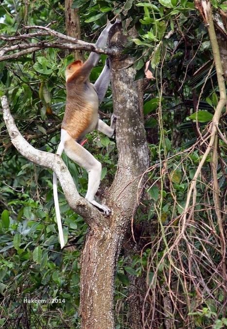 Photo 176   Bekantan - Wild Indonesia   Scoop.it