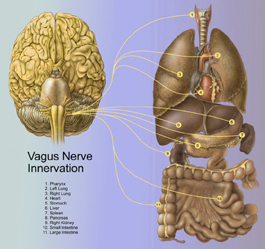 Vagus nerve activation clue to empathy, compassion | Learning, Education, and Neuroscience | Scoop.it