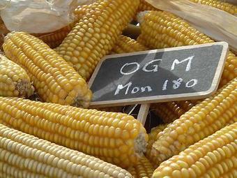 Le maïs OGM Mon810 bientôt autorisé de nouveau en France ? | Actualité de l'Industrie Agroalimentaire | agro-media.fr | Scoop.it