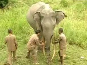 Death of 73-year-old elephant sparks mourning at Kaziranga National Park | Practice | Scoop.it