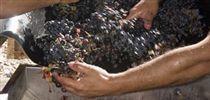 Vindima de queixas e problemas no Douro - Economia - Sol | Wine Pulse | Scoop.it