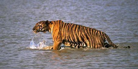 En Inde, le nombre de tigres a augmenté de 30% depuis2010 - le Monde   Faire Territoire   Scoop.it