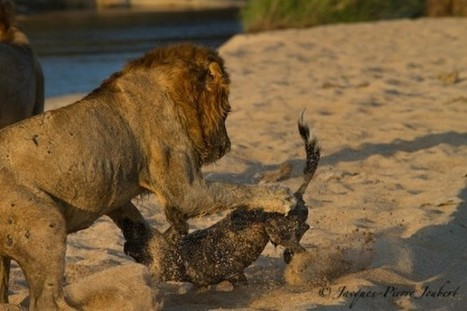 Amazing Fight Between Lion and Wild Dog - News Watch - National ...   My Funny Africa.. is this the lions last roar?   Scoop.it
