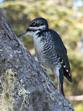 Black-backed Woodpeckers One Step Closer to Endangered Species Act Protection in California, Oregon, South Dakota | Biodiversity protection | Scoop.it