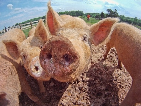 Pig Heart Transplants For Humans Are On The Way | leapmind | Scoop.it