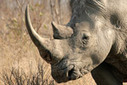 Organizations target rhino horn consumption in China | What's Happening to Africa's Rhino? | Scoop.it