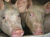 Inspector General Slams USDA's Pork Oversight - MFA Blog | Nature Animals humankind | Scoop.it