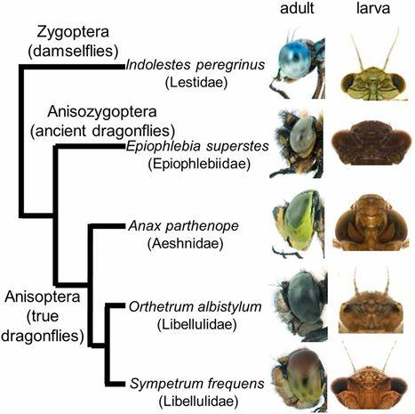 Extraordinary diversity of visual opsin genes in dragonflies / L'extraordinaire diversité des gènes codant pour les opsines liées à la vision chez les libellules | EntomoNews | Scoop.it