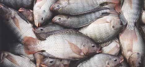 Ghana News - Video: Ghana's Growing Fisheries   Aquaculture Directory   Scoop.it