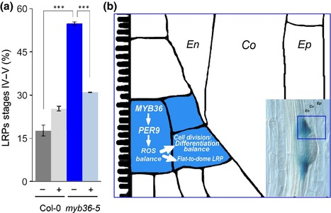 Control of Arabidopsis lateral root primordium boundaries by MYB36 - Fernández-Marcos - 2016 - New Phytologist - | Plant roots and rhizosphere | Scoop.it