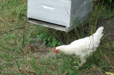 Landes : le poulet, l'arme fatale contre le frelon asiatique ? | Le flux d'Infogreen.lu | Scoop.it