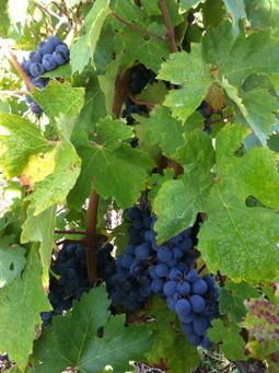 2013 Bordeaux Harvest: Weathering the Storm (VIDEO) - Wine Oh TV | Planet Bordeaux - The Heart & Soul of Bordeaux | Scoop.it