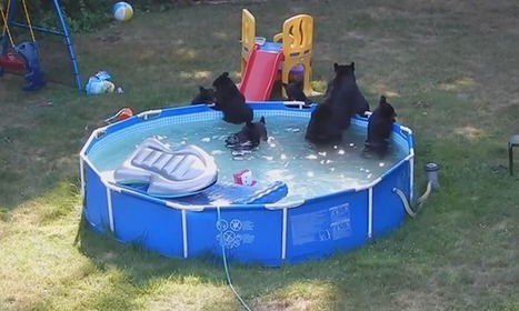 WATCH: Mama bear, cubs have pool party in N.J. backyard | Nature Animals humankind | Scoop.it