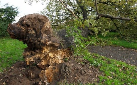 Tree felled by St Jude's Day storm exposes roots in shape of a dog | Strange days indeed... | Scoop.it