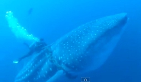 Divers Save Whale Shark From Drowning -  VIDEO | Our Ailing Oceans | Scoop.it