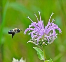 Plants used for bee habitat might kill bees | Gardening Life | Scoop.it