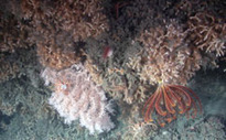 Cliffhanging corals avoid devasting bottom trawler damage | OUR OCEANS NEED US | Scoop.it