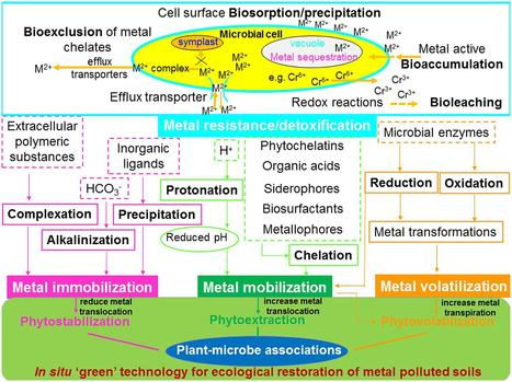 Biochemical and Molecular Mechanisms of Plant-Microbe-Metal Interactions: Relevance for Phytoremediation | Plant-Microbe Symbiosis | bioremediation | Scoop.it