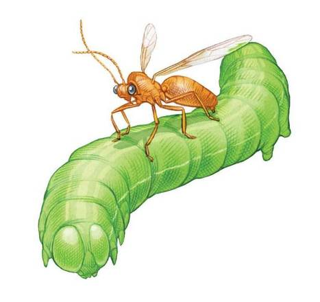 Enlist Beneficial Insects for Natural Pest Control | From The Herb Cottage | Scoop.it