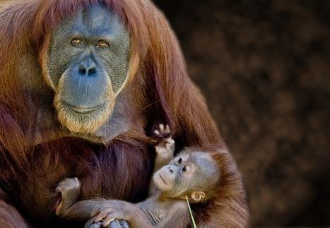 La culture des orang-outans se développent comme la culture humaine. | GuruMeditation | Aux origines | Scoop.it