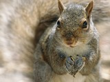 Squirrel Birth Control: To Stop Invasion, Science Gets Seedy | Ethology | Scoop.it