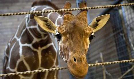 Denmark zoo considers putting down SECOND giraffe despite outrage over Marius - Express.co.uk | zoos should not exist | Scoop.it
