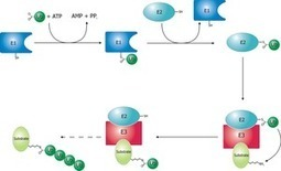 Ubiquitin Pathway Involved in Neurodegenerative Diseases ... | Pineal Cysts | Scoop.it