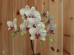 Orchidée phalaenopsis | Jardin médicinal | Scoop.it