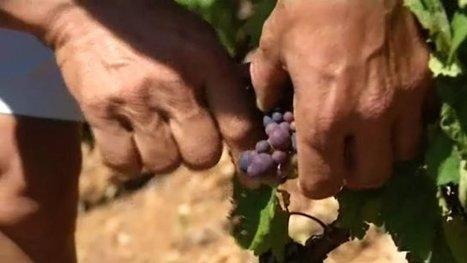 Les vendanges seront précoces dans le Beaujolais | Le Vin et + encore | Scoop.it