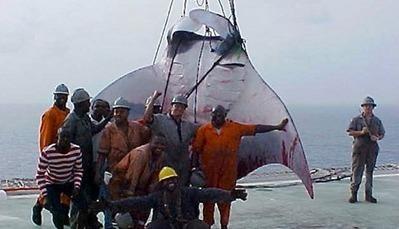 Une raie géante découverte au large du Nigeria et ils ont l'air content d'eux ! | Rays' world - Le monde des raies | Scoop.it